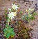 flannel-flowers-mte-550-w.jpg